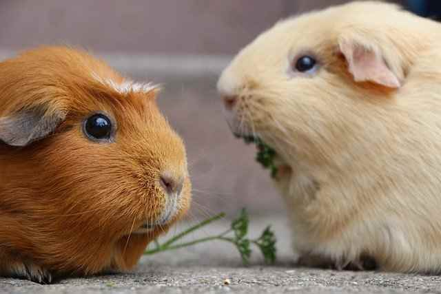 Can Guinea Pigs Eat Grapes: The Exact Answer That You Should Know